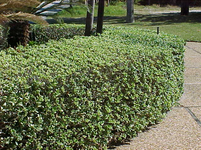 Pittosporum tobira for Types of bushes for landscaping